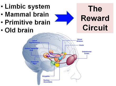 علاقة مراكز المكافأه بالوقت اللازم  لخروج المواد الإباحية من المخ
